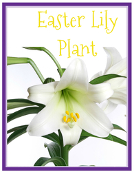 Easter Lily from Brennan's Secaucus Meadowlands Florist