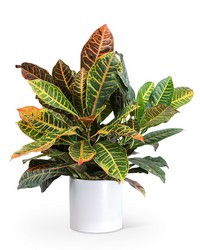 Croton Petra Plant from Brennan's Secaucus Meadowlands Florist