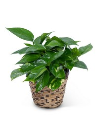 Pothos Plant in Basket from Brennan's Secaucus Meadowlands Florist