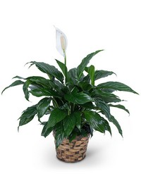 Peace Lily Plant from Brennan's Secaucus Meadowlands Florist