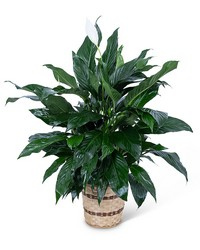 Medium Peace Lily Plant from Brennan's Secaucus Meadowlands Florist