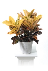 Croton plant from Brennan's Secaucus Meadowlands Florist