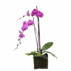 Double phalaenopsis plant in glass cube from Brennan's Secaucus Meadowlands Florist