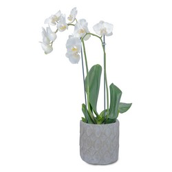 White Elegance Orchid from Brennan's Secaucus Meadowlands Florist