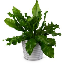 Bird's Nest Fern from Brennan's Secaucus Meadowlands Florist