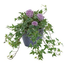 Ivy Plant with Fresh Roses from Brennan's Secaucus Meadowlands Florist