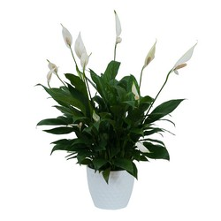 Peace Lily Plant in White Ceramic Container from Brennan's Secaucus Meadowlands Florist