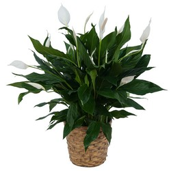 Peace Lily Plant in Basket from Brennan's Secaucus Meadowlands Florist