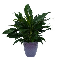 Peace Lily Plant in Ceramic Container from Brennan's Secaucus Meadowlands Florist