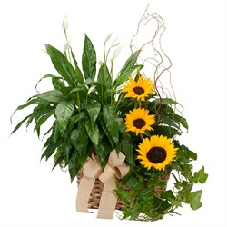 Plants and Sunshine from Brennan's Secaucus Meadowlands Florist
