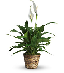 Simply Elegant Spathiphyllum - Small from Brennan's Secaucus Meadowlands Florist