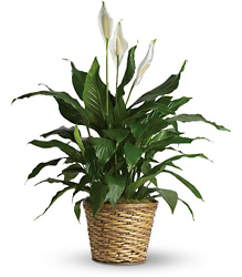Simply Elegant Spathiphyllum - Medium from Brennan's Secaucus Meadowlands Florist