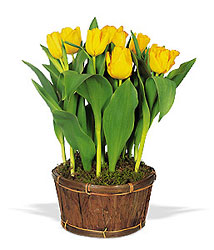 Potted Yellow Tulips from Brennan's Secaucus Meadowlands Florist